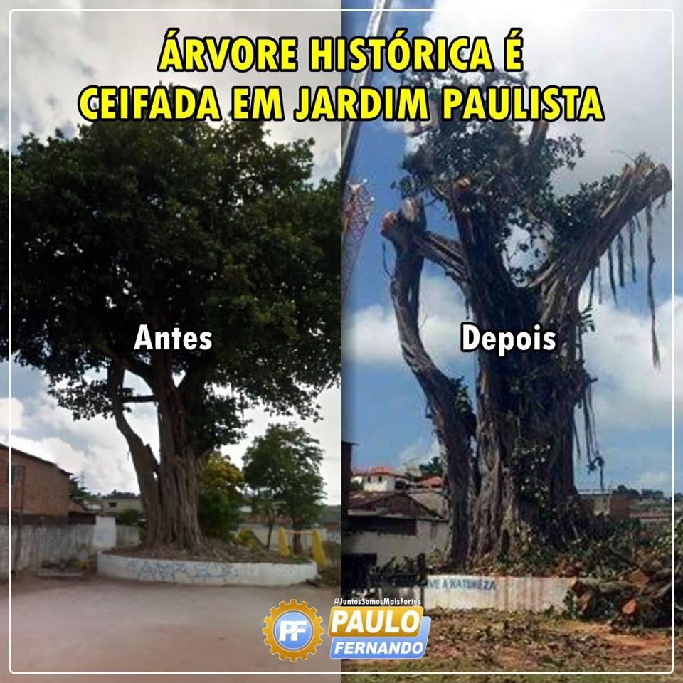 Árvore histórica é ceifada em Paulista